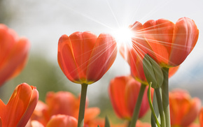tulips, nature, flower, flowers