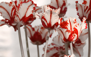 flowers, spring, white, tulips, red