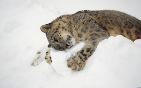 nature, leopard, snow, snow leopards, baby animals, animals