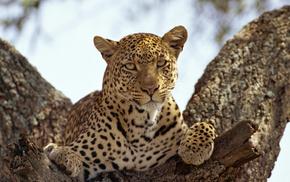 leopard, predator, animals