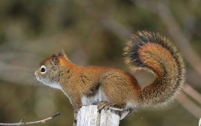 tail, animals, squirrel