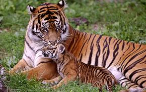 мама, Тигрица, тигры, животные, малыш, тигрёнок
