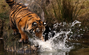 animals, splash, water, tiger, drops