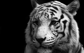 tiger, white, animals, predator