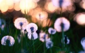 листья, поляна, Природа, травка, цветы, одуванчики
