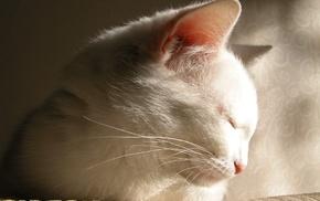 cat, white, animals