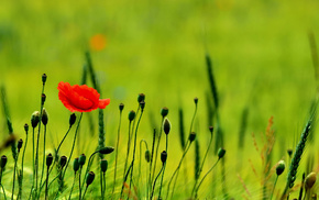 poppies, nature, flowers, field, greenery