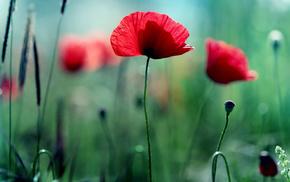 greenery, poppies, flowers