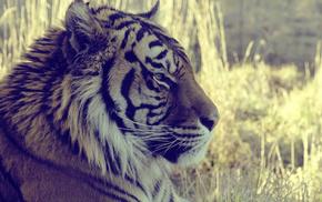 macro, animals, animal, grass, tiger