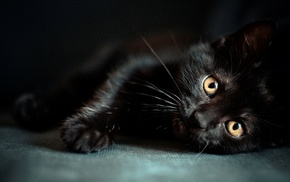 animals, kitten, black
