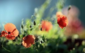 poppies, flowers, greenery
