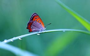 butterfly, drops, animals, grass