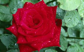 dew, petals, flower, rose, drops