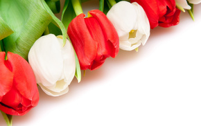red, white, flowers, background, tulips