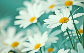 chamomile, tenderness, flowers, petals