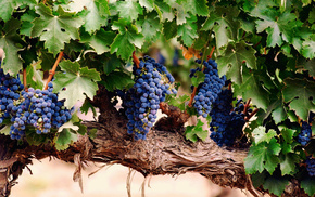 berries, grapes, leaves, nature