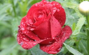 flowers, flower, dew, rose, morning