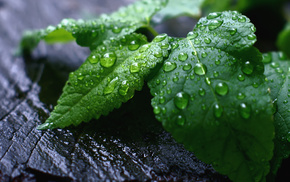 drops, foliage, macro