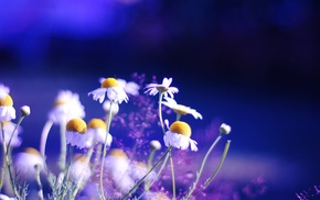 colors, chamomile, plants, background, flowers