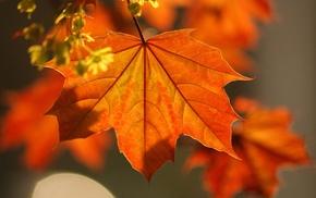 autumn, leaves, macro