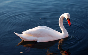 lake, bird, reflection, water, animals