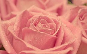 Роза, красота, макро, розовая, бутон, капли