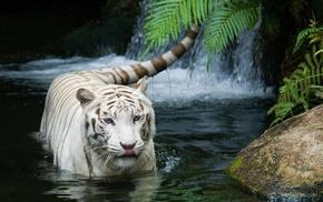 Тигр, животные, кошка, white tiger, белый тигр, tiger