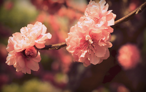 bloom, flowers, petals, macro, sakura