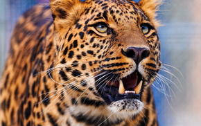 muzzle, wallpaper, leopard, animals
