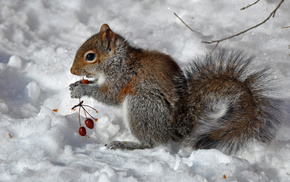 animals, berries, squirrel, winter