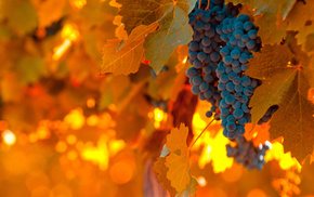 light, grapes, blue, delicious, food