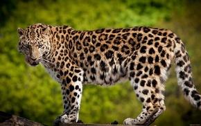 animals, nature, leopard