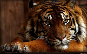 wallpaper, tiger, animals