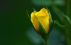 petals, flowers, macro, rose