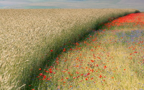 nature, poppies, field