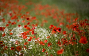 poppies, field, nature