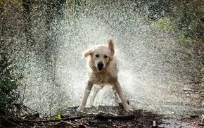 animals, drops, splash, water, dog
