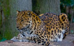 leopard, nature, animals