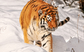 animals, predator, tiger, snow