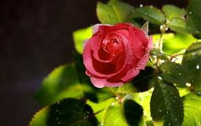 drops, flowers, roses