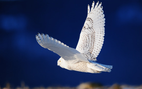 крылья, животные, полёт, Птица, сова, белая