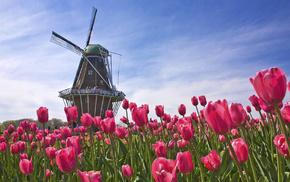 field, tulips, flowers