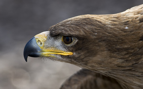 eagle, feathers, bird, animals