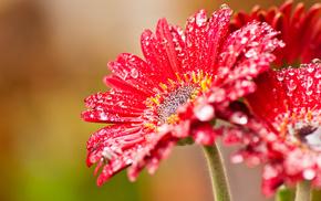 red, macro, drops, flower