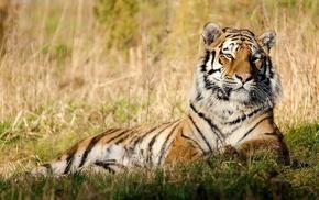 grass, rest, muzzle, tiger, animals