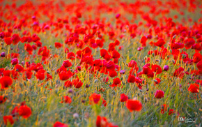 poppies, background, field, flowers, greenery