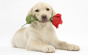 rose, animals, flower, puppy