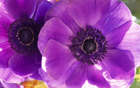 purple, poppies, petals, flowers, macro