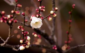 цветок, Абрикос, ветка, макро, веточки, цветочек