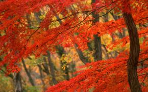 beautiful, tree, autumn
